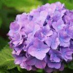 【金運アップ】紫陽花を使ったおまじないや風水